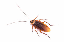 Cockroach - There are only two types of cockroaches, the one's that live inside your home and the one's that live outside.