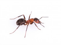 Ant - The broad types of infestation for anyone with an ant problem are, ants that live outside or ants that live inside. *Our control strategies are effective because we tailor them to the type of ant (very important) and the type of infestation.