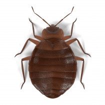 Bed Bug - Bed Bug's are small (think apple seed), oval shaped, wingless blood suckers. They vary in colour according to when they last fed. If they haven't fed for sometime they will be a quite pale (nearly transparent) colour. If they have recently fed they will be a reddish brown colour