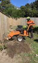 Stump Removal in Seatoun, Wellington by Leaves And Trees Ltd Wellington - Arborist doing Stump Grinding.