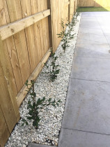 Good neighbour Paling fence with camelia hedge and ornamental riverstone