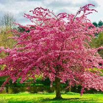 Cherry blossom - A beautiful Cherry blossom tree we saw on our travels around Auckland