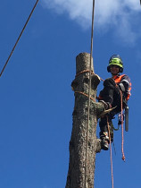 Tree Removal - Leaves And Trees Ltd - Pine Tree removal in Wellington City