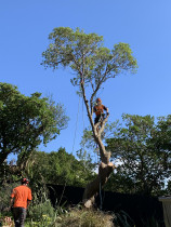 Tree Removal in Strathmore, Wellington - Tree Surgeon James from Leaves And Trees Ltd Wellington removing a Tree.