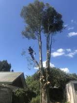 Dismantle of a split stem Kahikatea by Treemendous Tree Service - Tree had split straight down middle of trunk and neighbours with young kids were very worried of the tree falling on the house, so the tree had to go.
