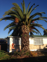Trimming the Frons of the Palm tree in Stokes Valley, Lower Hutt   - Leaves And Trees Ltd