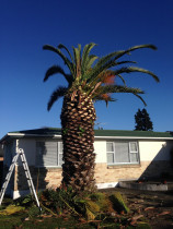 Phoenix Palm tree Removal.  - Leaves And Trees Ltd