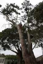 Pine ascent.. - Removing a gnarly pine section from a listed pohutukawa..initial stages..