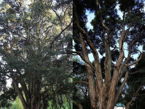 Totara core clearance..ArborTechniX - Interior thinning operations to open up a mature Totara, before & after...