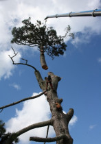 Crane lift byArborTechniX - 55 tonne crane dismantling of a mature pine...removing the core..