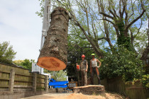 Big wood.... - Final cut section of a Norfolk pine barrel weighing in at 8 tonnes in a single piece...3.5m diameter..