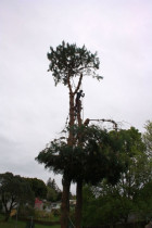 Pine head removal...by ArborTechniX - Lowering operations catching the whole head in the sky....