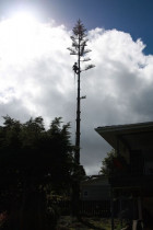Norfolk pine pole...ArborTechniX - Mobile main trunk on a Norfolk pine removal..