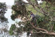 Coastal thinning... - Thinning pohutukawa over sea-cliffs...