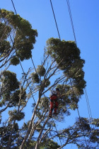 Power line clearance...ArborTechniX - Pohutukawa target reduction away from power lines...
