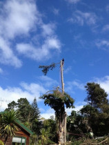 Macrocarpa top drop... - Taking the head out of the tree before structural demolition..lowering ArborTechniX style...