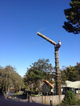 Pine removal #howick - Sectional felling of a pine in howick