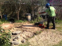 Grinding two large washington palms by Daily Grind Stump Grinding