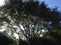 150 year old Oak tree in Upper Hutt, after thinning was completed.  - Leaves And Trees Ltd