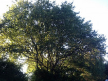 150 year old Oak tree in Upper Hutt, before thinning was completed.  - Leaves And Trees Ltd