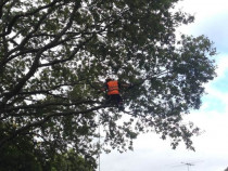 Our Wellington Arborist working on a Oak tree.  - Leaves And Trees Ltd