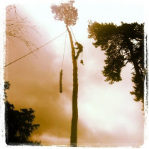 Sherwood Forestry-Rigging a storm damaged Pine