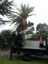 Treespecs - Palm trees - Take down of a Phoenix palm.