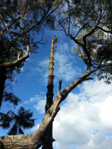 Treespecs - Norfolk removal - This was a two day job taking down and removing large Norfolk pine .