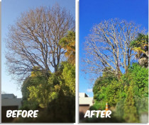 Tree Reduction - A all over reduction of a Oak tree in Remuera.