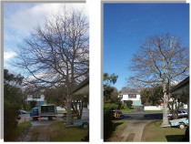 Tree reduction in Westmere - We reduced a large pinoak is size to contain the tree.