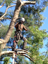Tree pruning - Team members climb the trees to make the most of pruning the tree to its best potential. This helps to reduce costs also by not using cherry pickers or other equipment.