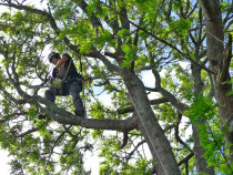 Aerial Pruning - Highly skilled climbers perform work safely and competently every time.