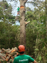 Large Tree Removal - Team using great skill and care to remove this large tree in a forest setting.
